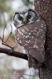 Nyctale de Tengmalm  /  Boreal Owl  ( 2/2 )