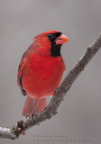 Cardinal rouge  /  Northern Cardinal