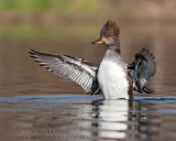 Harle couronn�é/ Hooded Merganser