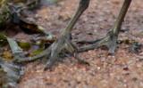 Semipalmated Sandpiper semipalmation