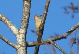 Red-bellied Woodpecker - Ashland Co. WI