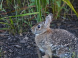 easterncottontail6640.jpg
