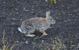 easterncottontail6643.jpg
