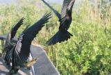 Anhinga chased off perch