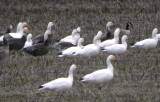 Ross's, Snow, and Cackling Geese
