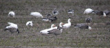Cackling and Snow Geese