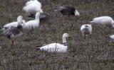 Snow Goose with neckband