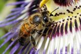 Abeille sur passiflora