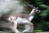 Antilope cervicapra - Antelope