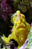 Poisson pêcheur - Frogfish