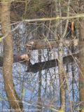 Plantation de peupliers vs castors - Poplars plantation vs beavers