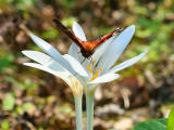 Papillon Paon du Jour - Peacock butterfly