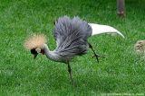 Grue couronnée - Crowned crane