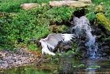 Ibis Sacré - Sacred Ibis