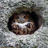 Hibou grand-duc - Eurasian Eagle-owl