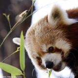 Le petit Panda - Red Panda