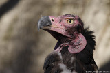 Vautour de Pondichery - Pondichery vulture