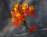Crucifix Orchids
