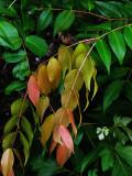 Lillipilli leaves