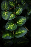 Variegated Groundcover