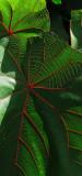 Makoranga Leaves
