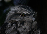 Tawny Frogmouth Portrait