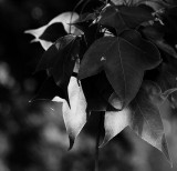 Liquidamber in light and shade