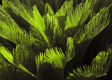 New leaves on a cycad