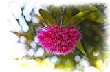 Lillipilli flower