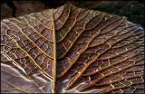 Waterlily Leaf