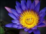 Another waterlily