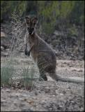 Young Pretty-Face Wallaby