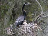 Male Darter with Chicks