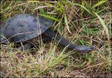 Snake Necked Turtle