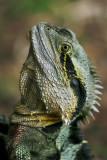 Water Dragon Close-up