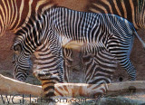 Zebra Linear