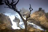 Gnarled Cypress