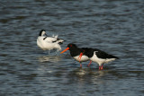 Oystercatchers and Avocet