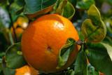 fresh tangerine