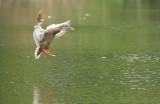 ducklanding.jpg