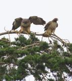 Redtailed Hawks
