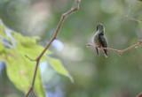 Preening Hummingbirf