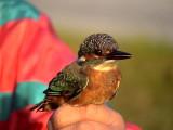Kungsfiskare Common Kingfisher Alcedo atthis