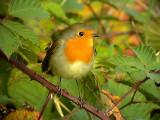 Rödhake  European Robin Erithacus rubecula