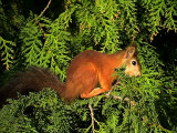 Ekorre Red Squirrel  Sciurus vulgare