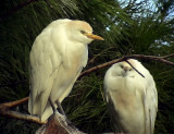 Kohäger Cattle Egret Bubulcus ibis