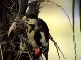 Balkanspett Syrian Woodpecker Dendrocopos syriacus