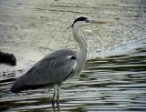 Gråhäger Grey heron Ardea cinerea