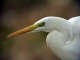 Ägretthäger Egretta alba Great Egret