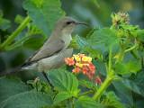 Palestina solfågel Palestine Sunbird Nectarinia osea
